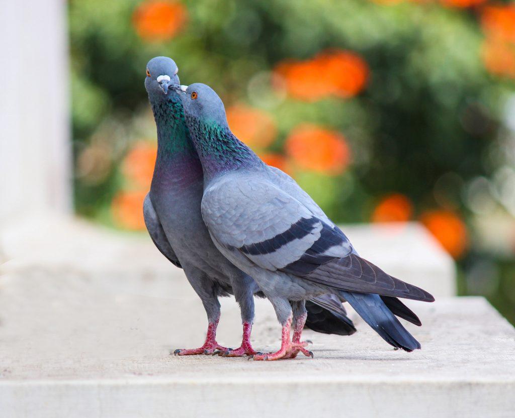 Plagas de palomas y aves en comunidaes de propietarios